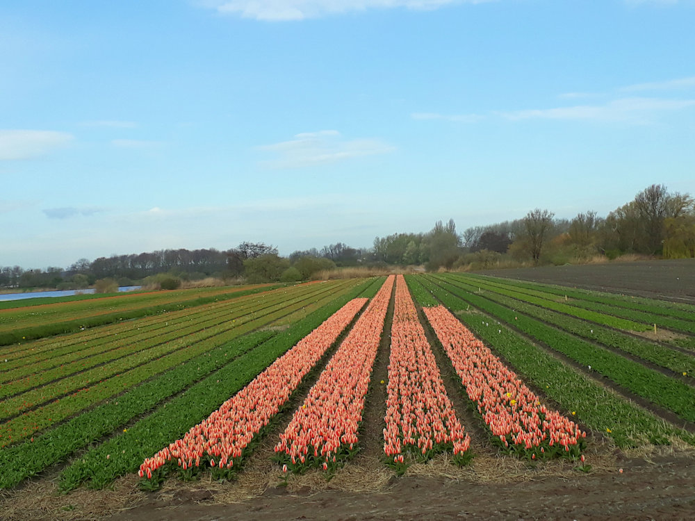 Kleurrijk wandelen in de bollenstreek in Nederland, 10.7km.